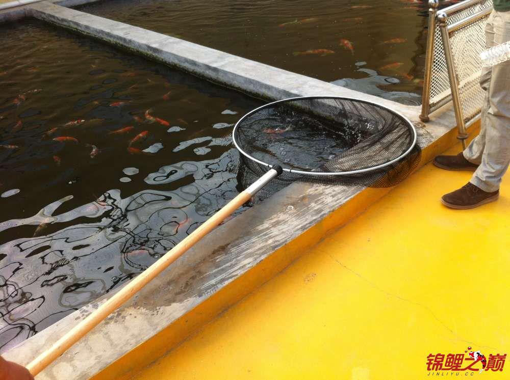 参观锦鲤养殖厂纪念 北京观赏鱼 北京龙鱼第41张