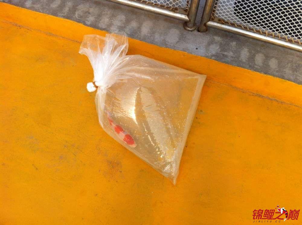 参观锦鲤养殖厂纪念 北京观赏鱼 北京龙鱼第46张