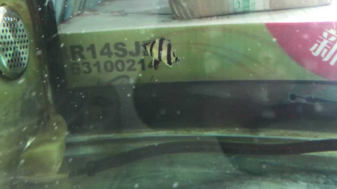 小虎快乐的游着