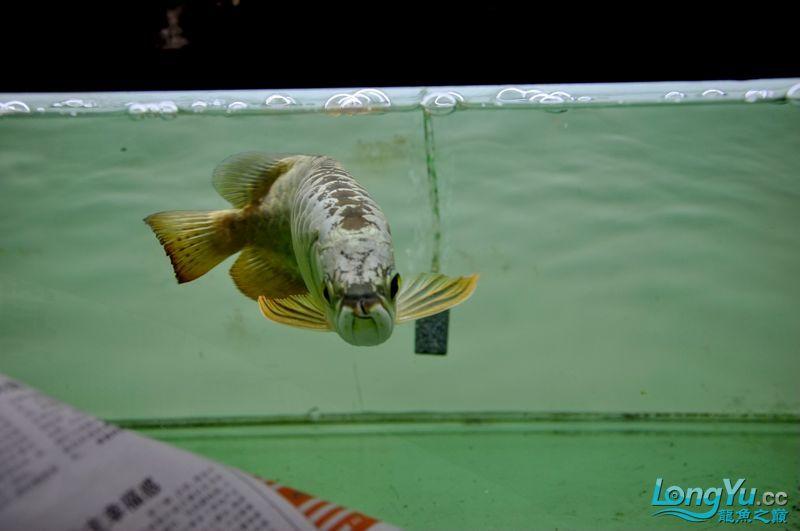伯爵北京和兴龙鱼联系方式金头