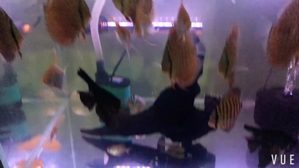深夜加餐神仙鱼北京进观赏鱼去哪里
