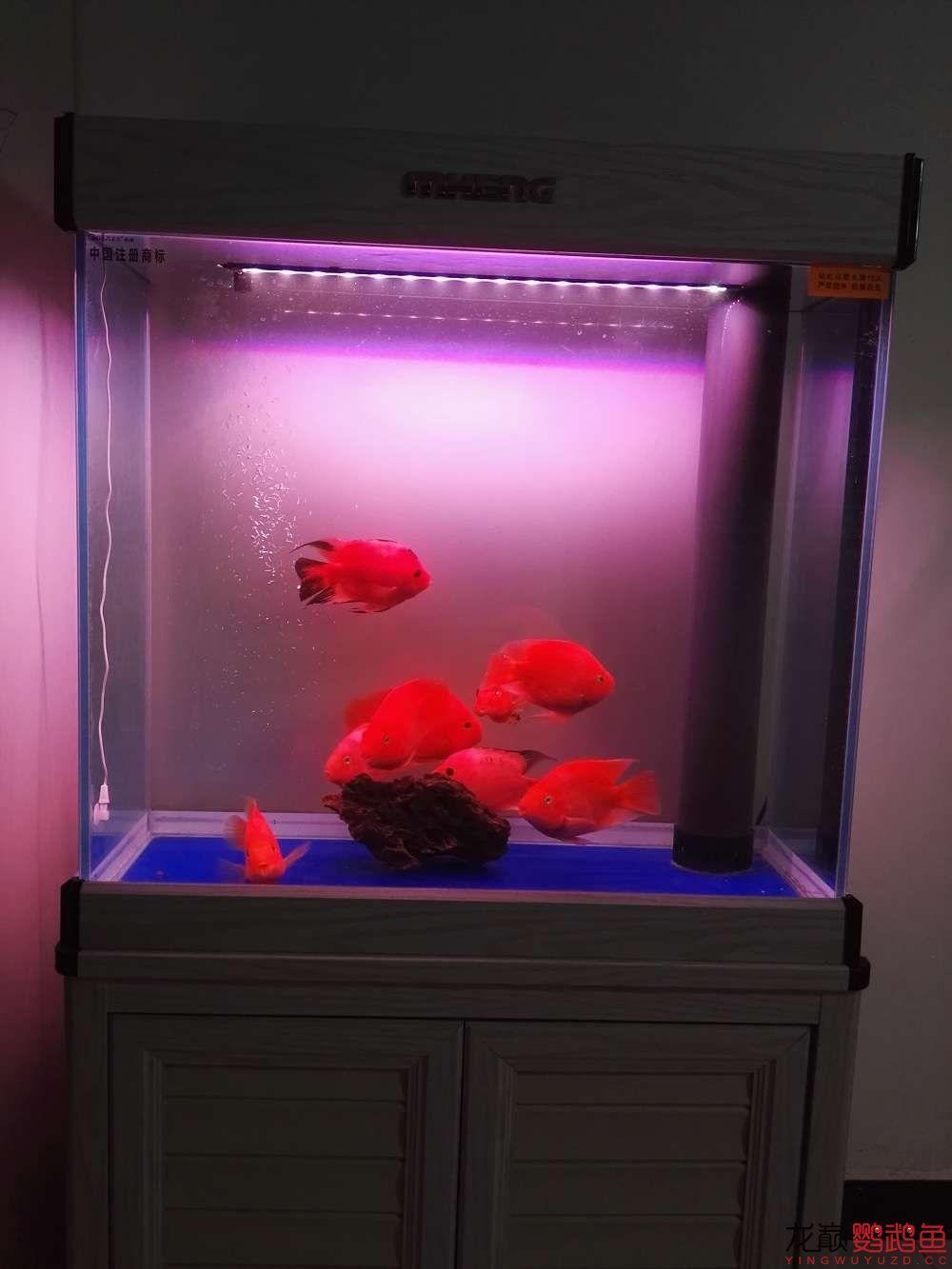 吉印刀锋S鹦鹉鱼LED引色灯水中贵族的体验 北京龙鱼论坛 北京龙鱼第22张