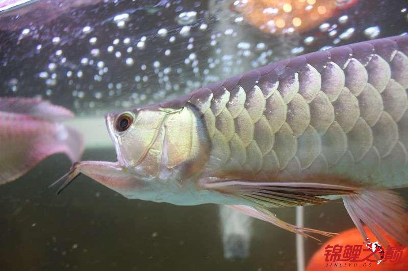 327日积分主题我被锦鲤强壮矫健体型迷惑 北京观赏鱼 北京龙鱼第2张