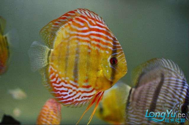 五一出去转了一圈 回家第一件事就是亮出自养的野彩 北京观赏鱼 北京龙鱼第2张