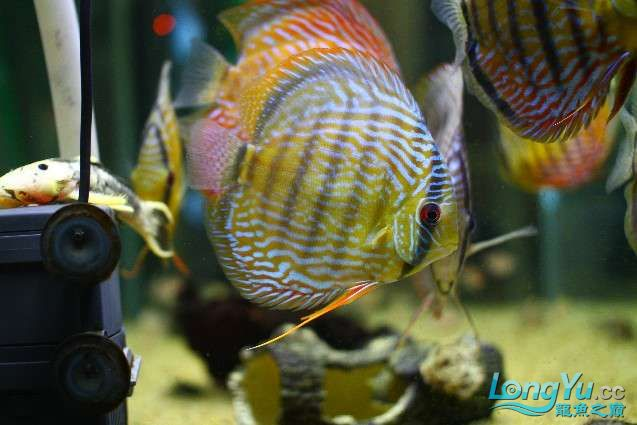 五一出去转了一圈 回家第一件事就是亮出自养的野彩 北京观赏鱼 北京龙鱼第4张