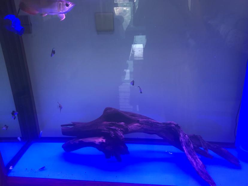 新加一龙头木 北京观赏鱼 北京龙鱼第2张