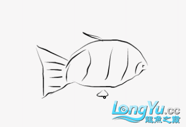 【龙巅精英】虎鱼一条 北京观赏鱼 北京龙鱼第1张