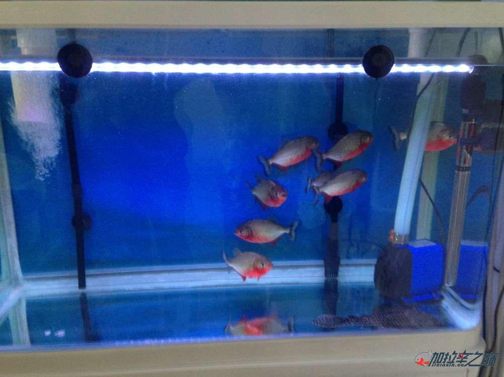 我的红腹搬新家了 北京观赏鱼 北京龙鱼第2张
