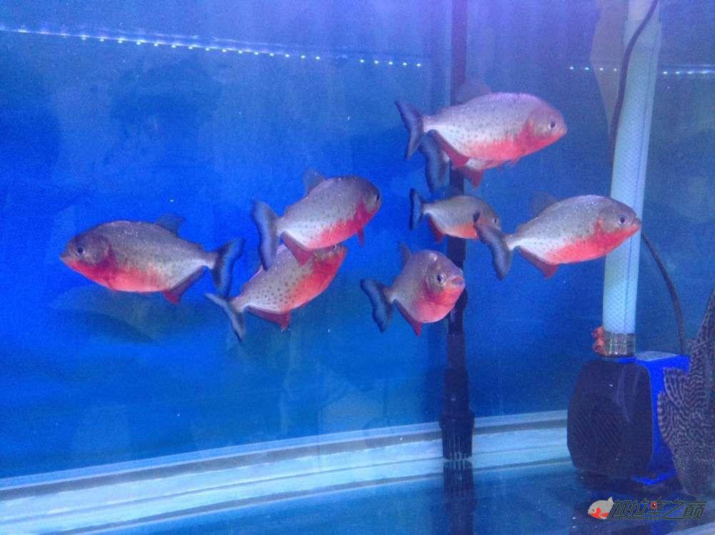 我的红腹搬新家了 北京观赏鱼 北京龙鱼第3张