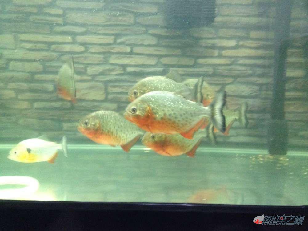 我的红腹搬新家了 北京观赏鱼 北京龙鱼第4张