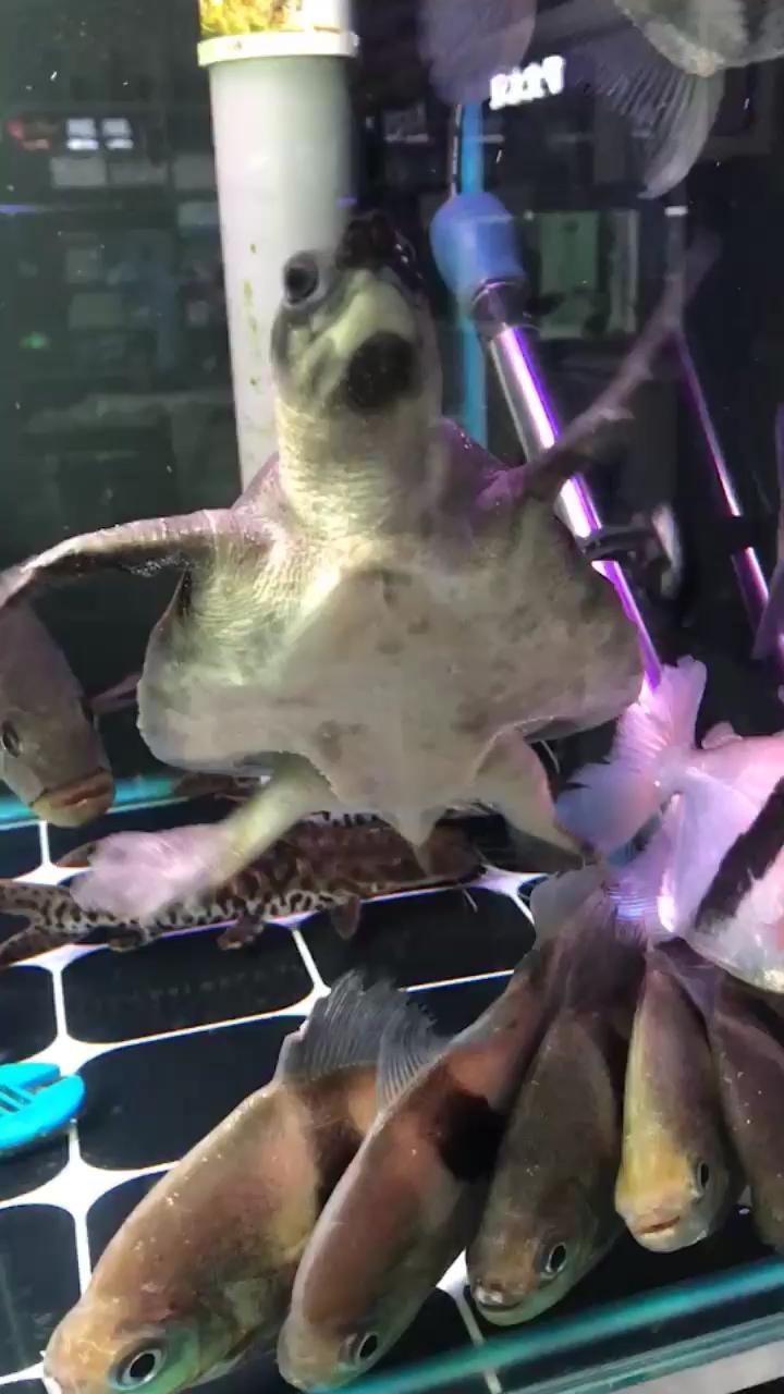 猪鼻翘甲两栖爬宠 北京观赏鱼 北京龙鱼第1张