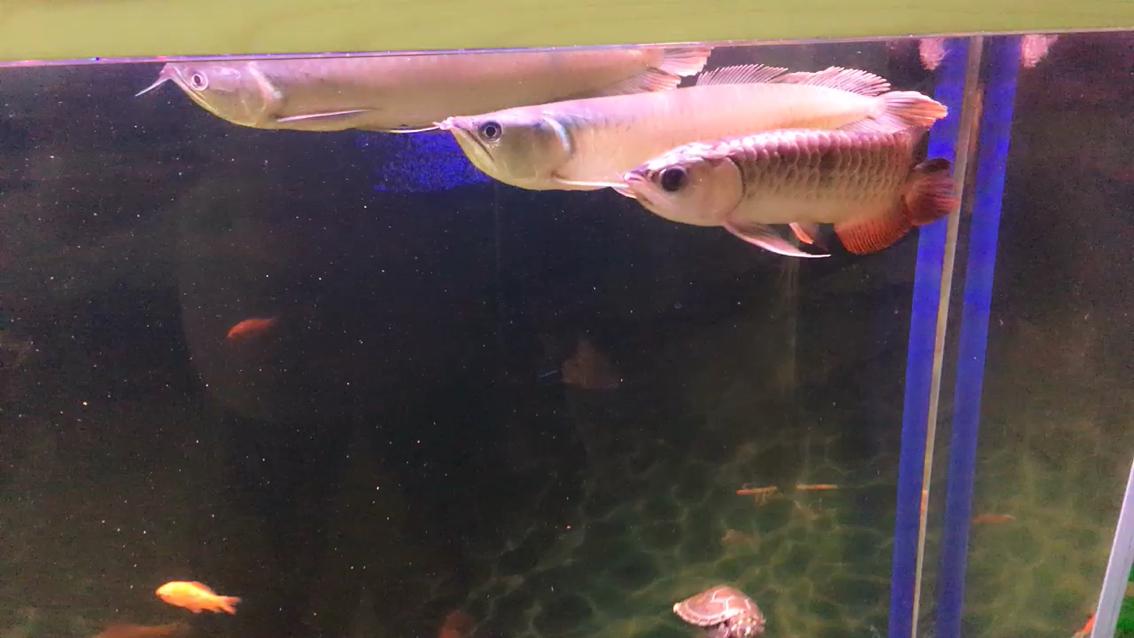 大家给看看刚入手第一条金龙 北京龙鱼论坛 北京龙鱼第1张