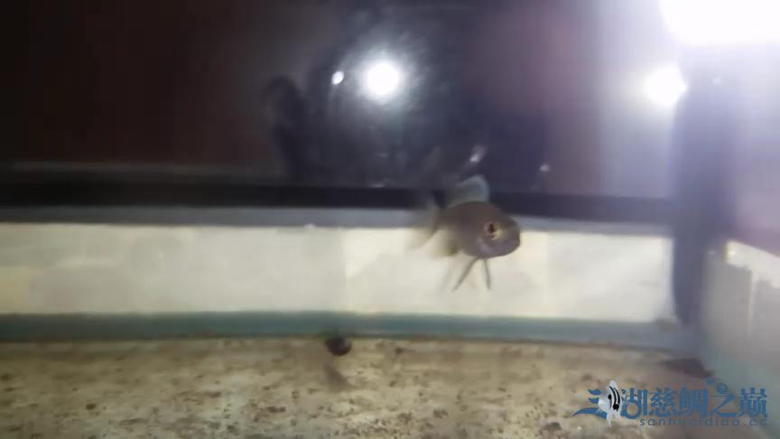 银龙苗刚入缸大家看看如何 北京观赏鱼 北京龙鱼第3张