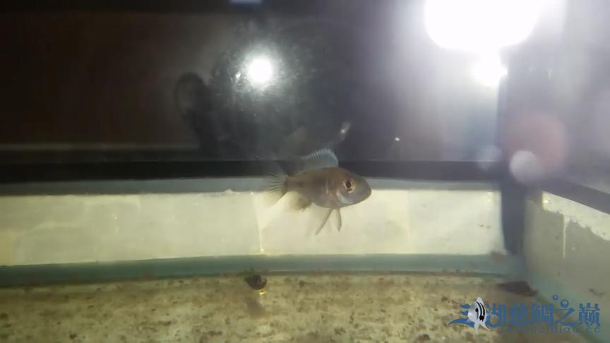 银龙苗刚入缸大家看看如何 北京观赏鱼 北京龙鱼第5张