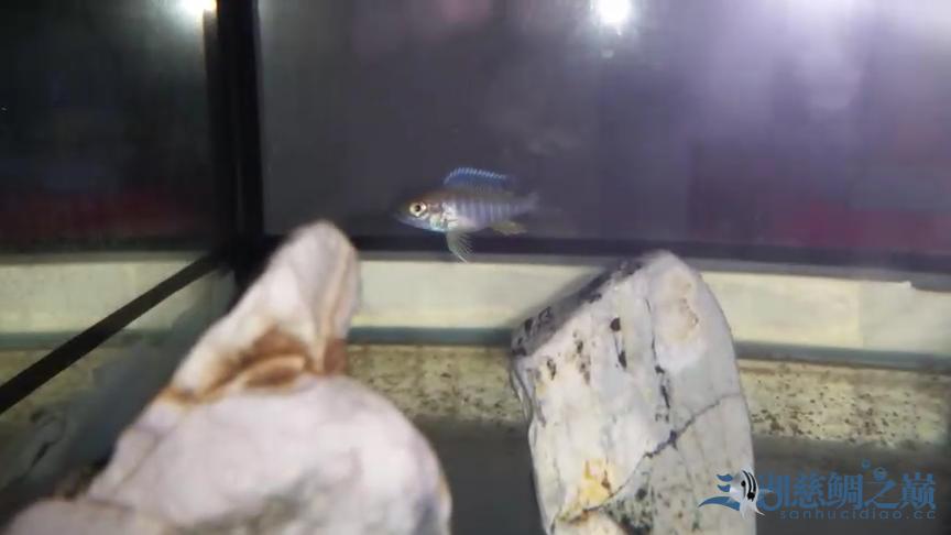 银龙苗刚入缸大家看看如何 北京观赏鱼 北京龙鱼第6张