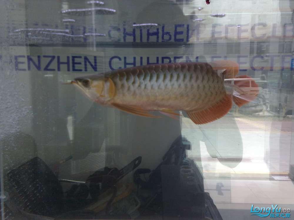 八戒家的超级红龙 北京龙鱼论坛 北京龙鱼第1张