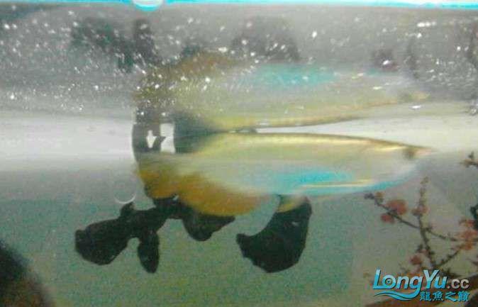 请求前辈帮我看看这是什么龙鱼? 北京龙鱼论坛 北京龙鱼第2张