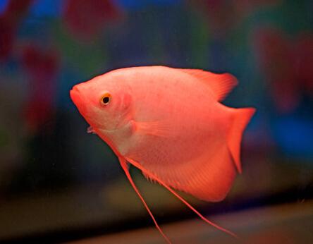 求教:龙缸的水发绿 北京观赏鱼