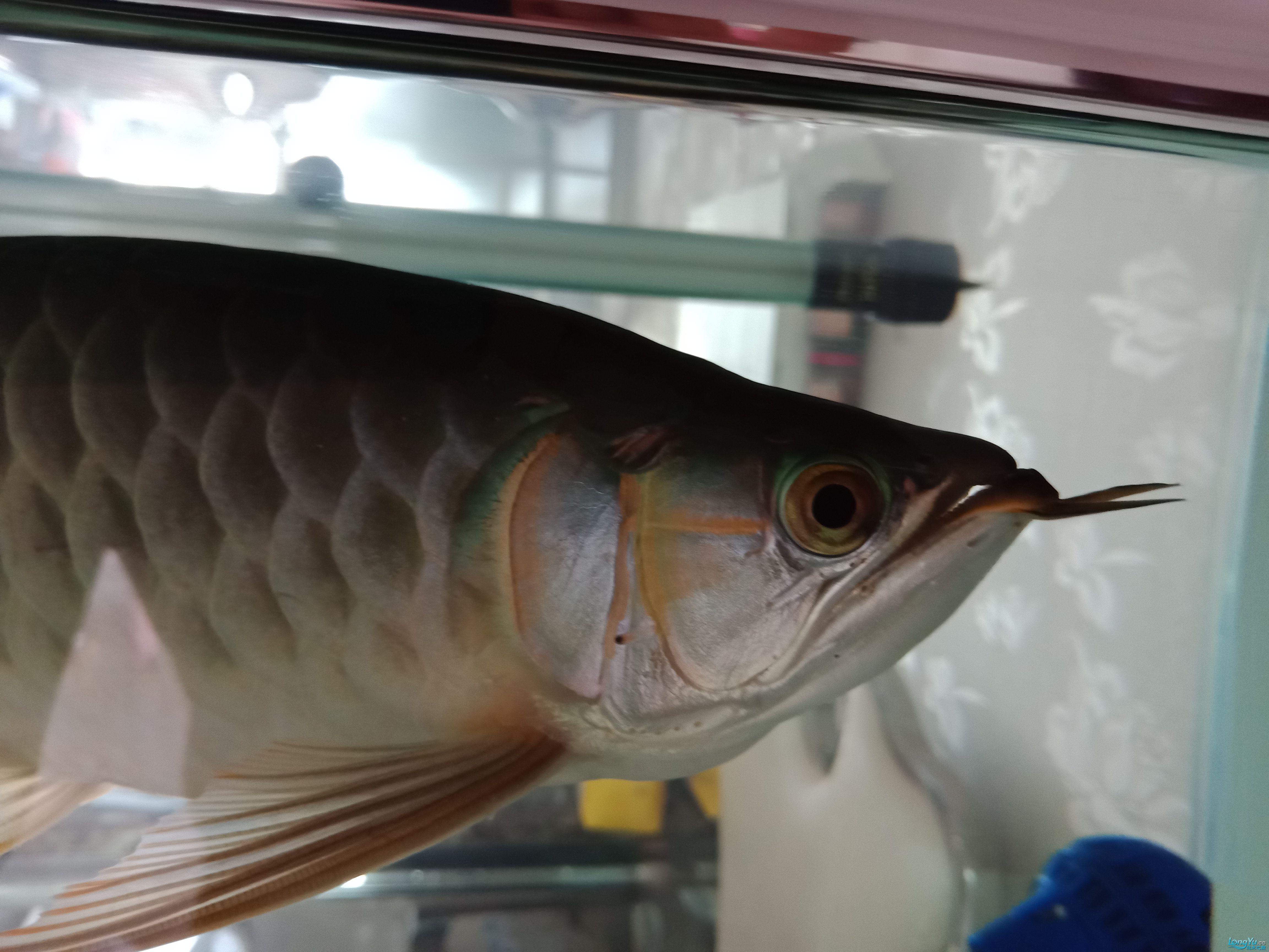 小胖子发色啦 北京观赏鱼 北京龙鱼第1张