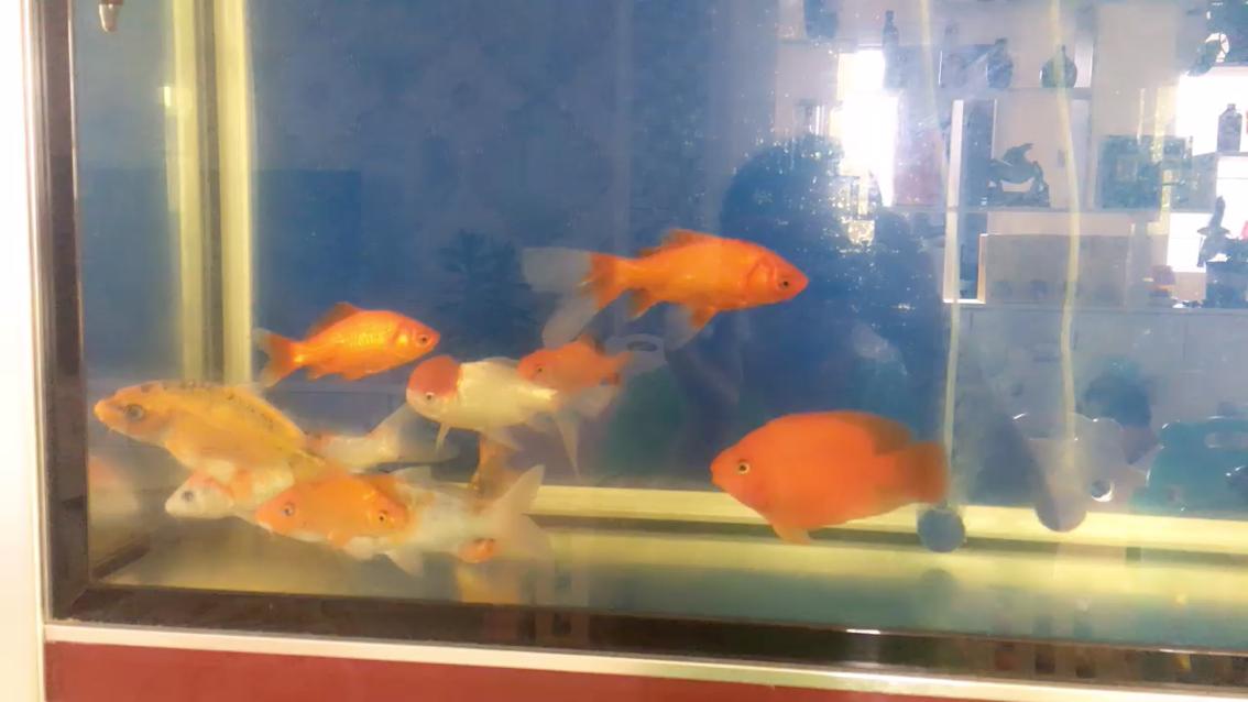 搬个凳子看鱼锦鲤 北京龙鱼论坛 北京龙鱼第1张