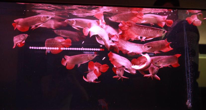 四大铭龙YUKI泗水超血王 北京观赏鱼 北京龙鱼第2张