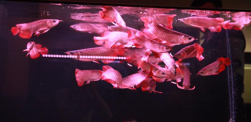 四大铭龙YUKI泗水超血王 北京观赏鱼 北京龙鱼第3张