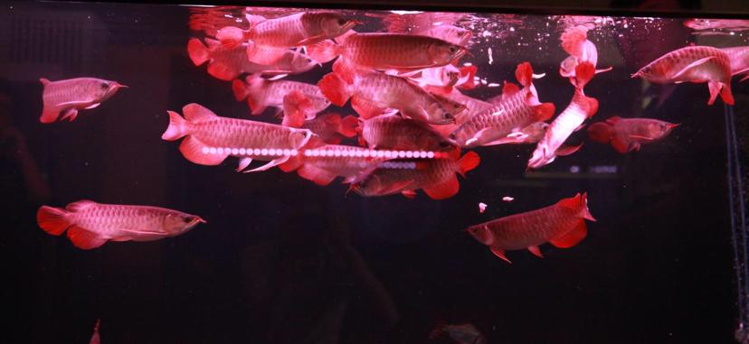 四大铭龙YUKI泗水超血王 北京观赏鱼 北京龙鱼第4张