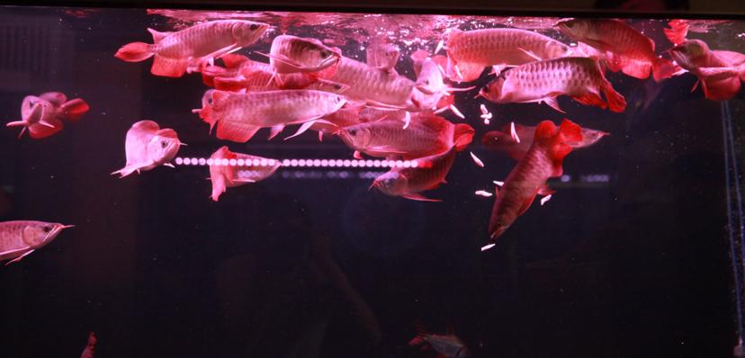 四大铭龙YUKI泗水超血王 北京观赏鱼 北京龙鱼第5张
