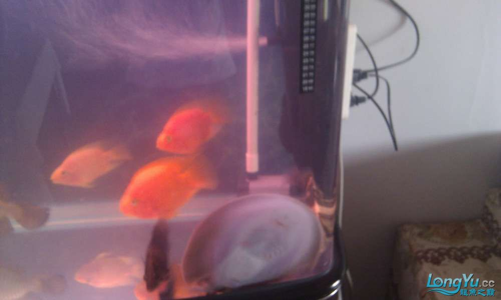 请教高手珍珠虹的一些毛病 北京龙鱼论坛 北京龙鱼第4张