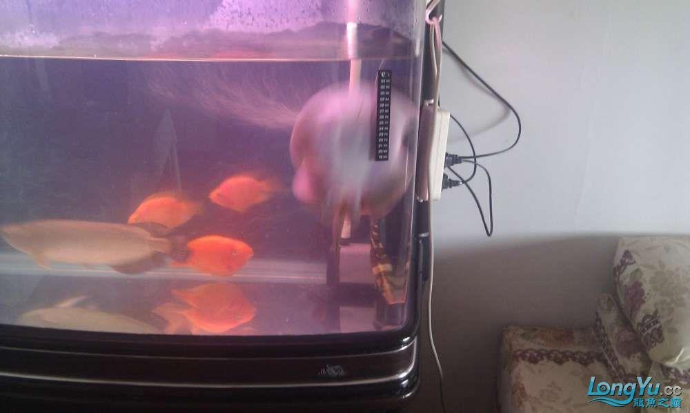 请教高手珍珠虹的一些毛病 北京龙鱼论坛 北京龙鱼第7张