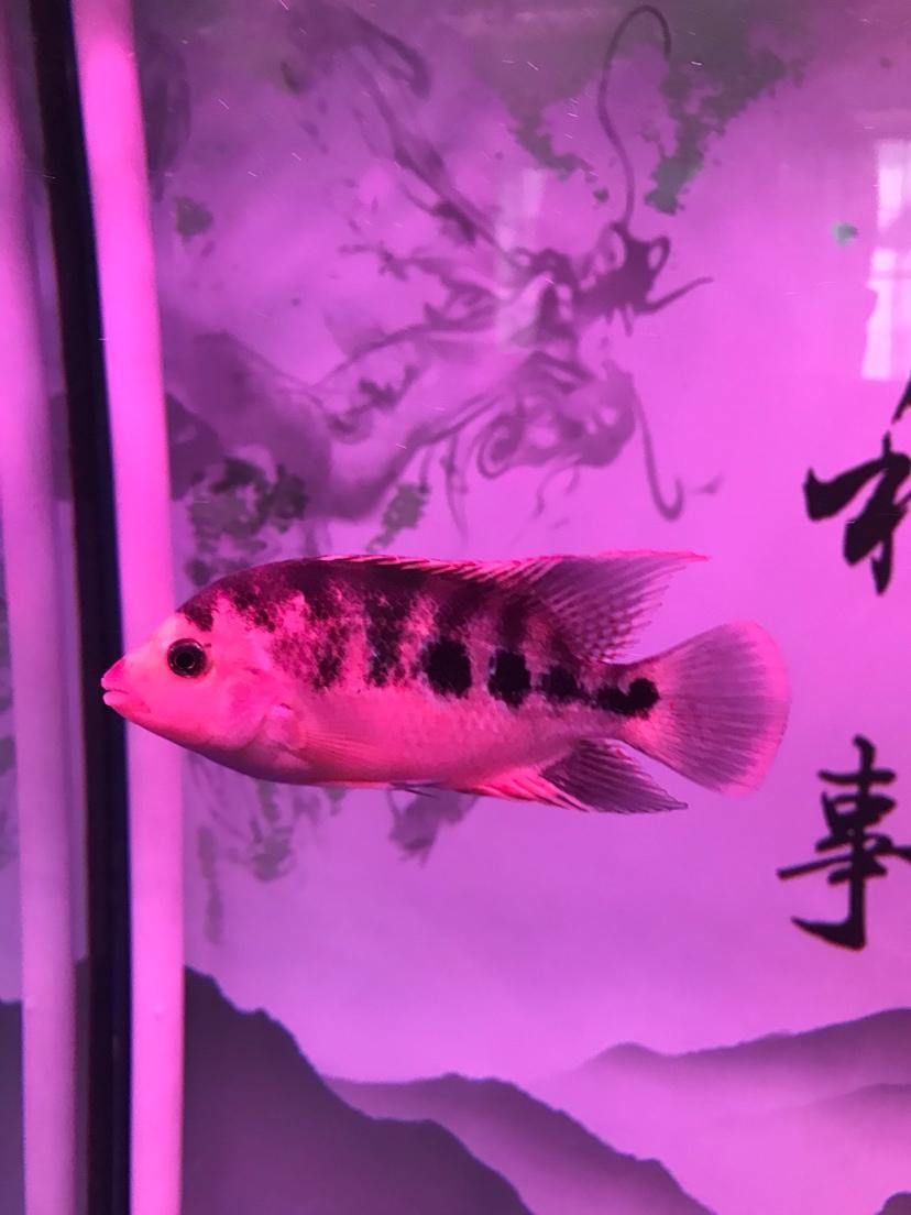 看看这个罗汉鱼北京皇冠黑白魟鱼白点变黄 北京观赏鱼 北京龙鱼第1张