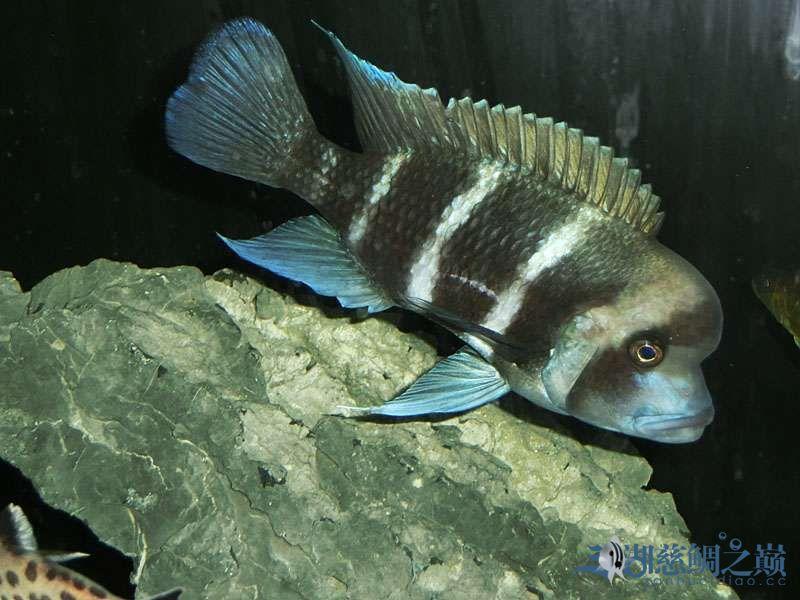 名鱼有主254青年节凑热闹不是名鱼的皇冠六间 北京观赏鱼 北京龙鱼第1张