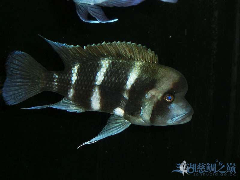名鱼有主254青年节凑热闹不是名鱼的皇冠六间 北京观赏鱼 北京龙鱼第2张