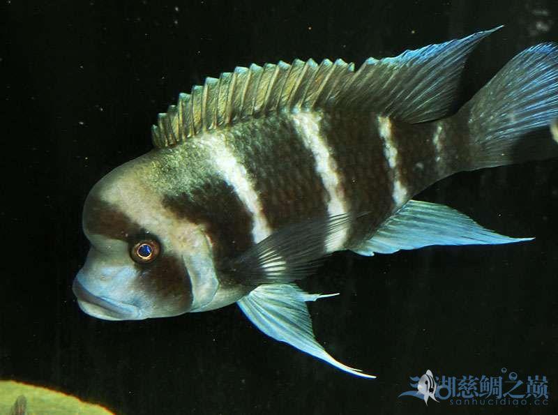 名鱼有主254青年节凑热闹不是名鱼的皇冠六间 北京观赏鱼 北京龙鱼第4张