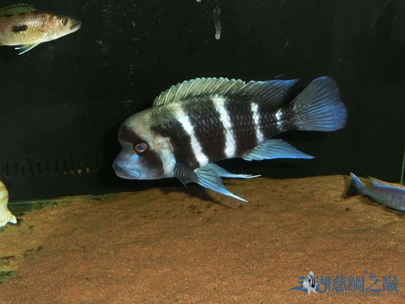 名鱼有主254青年节凑热闹不是名鱼的皇冠六间 北京观赏鱼 北京龙鱼第3张