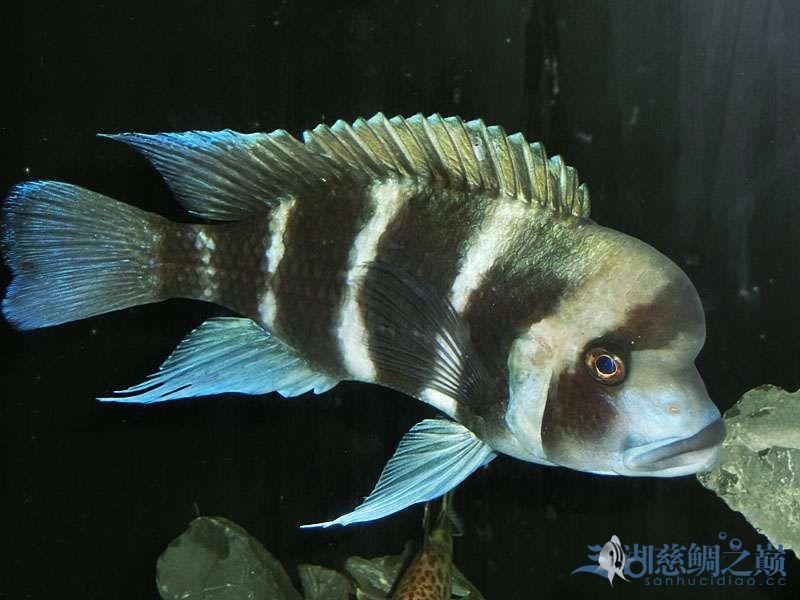 名鱼有主254青年节凑热闹不是名鱼的皇冠六间 北京观赏鱼 北京龙鱼第5张