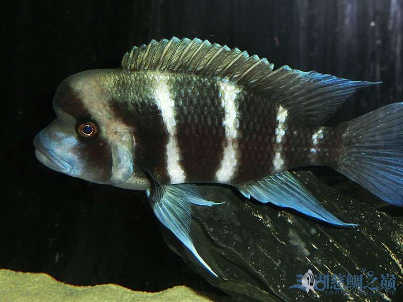 名鱼有主254青年节凑热闹不是名鱼的皇冠六间 北京观赏鱼 北京龙鱼第6张