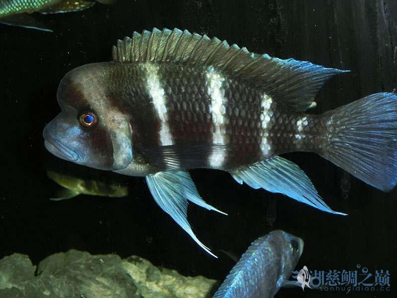 名鱼有主254青年节凑热闹不是名鱼的皇冠六间 北京观赏鱼 北京龙鱼第7张