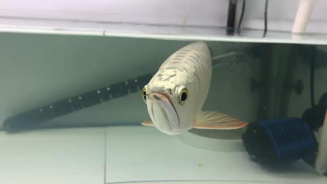 今天来签个到龙鱼 北京观赏鱼 北京龙鱼第1张
