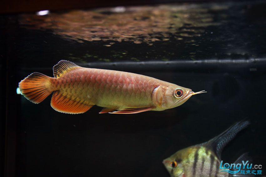 到家14天宝石的大家PP 北京观赏鱼 北京龙鱼第2张