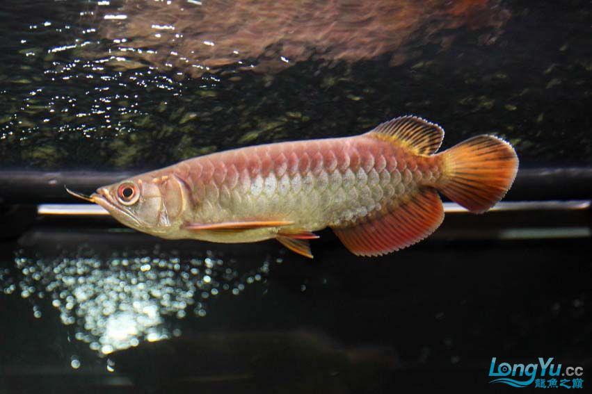 到家14天宝石的大家PP 北京观赏鱼 北京龙鱼第3张