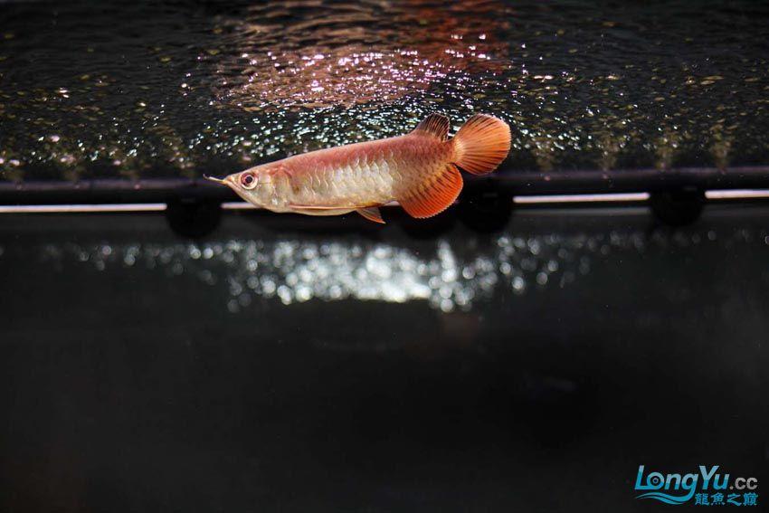 到家14天宝石的大家PP 北京观赏鱼 北京龙鱼第4张