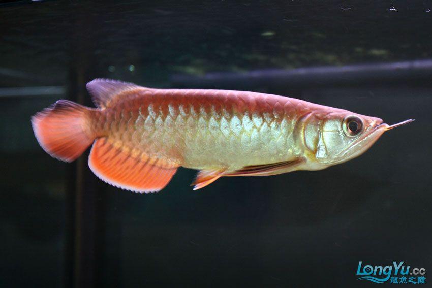 到家14天宝石的大家PP 北京观赏鱼 北京龙鱼第5张