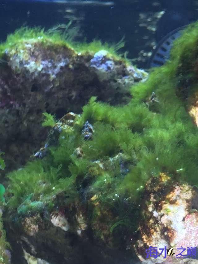 爆藻9天没有灯光的地方不爆藻加了一个外挂小灯 北京观赏鱼 北京龙鱼第7张