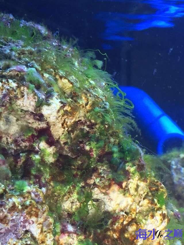爆藻9天没有灯光的地方不爆藻加了一个外挂小灯 北京观赏鱼 北京龙鱼第8张