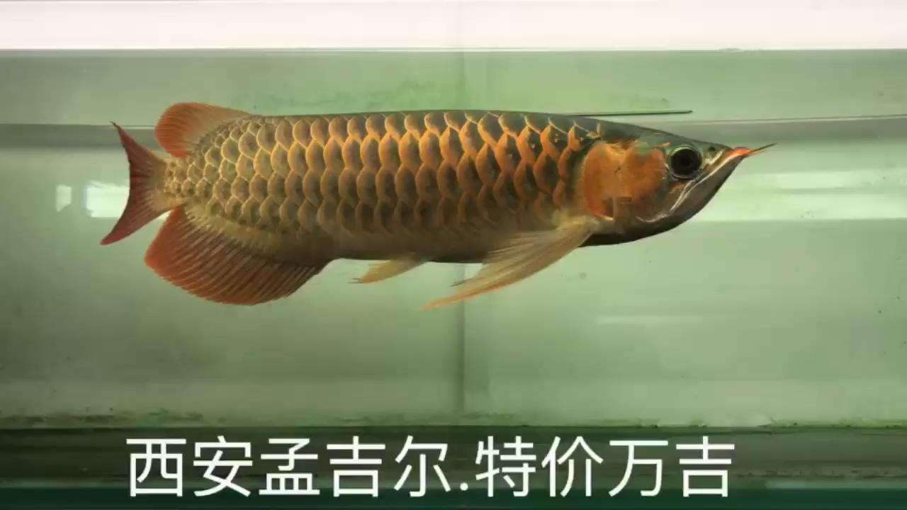 兜是兜了点但是便宜不到一万 北京龙鱼论坛 北京龙鱼第1张