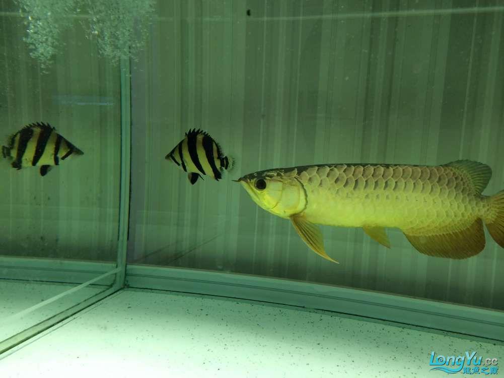 泰虎变李逵让龙咬了几口就这德行了 北京观赏鱼 北京龙鱼第1张