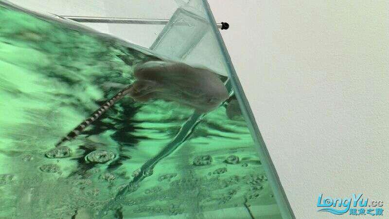 魟鱼总是浮水面也不吃食 北京观赏鱼 北京龙鱼第1张