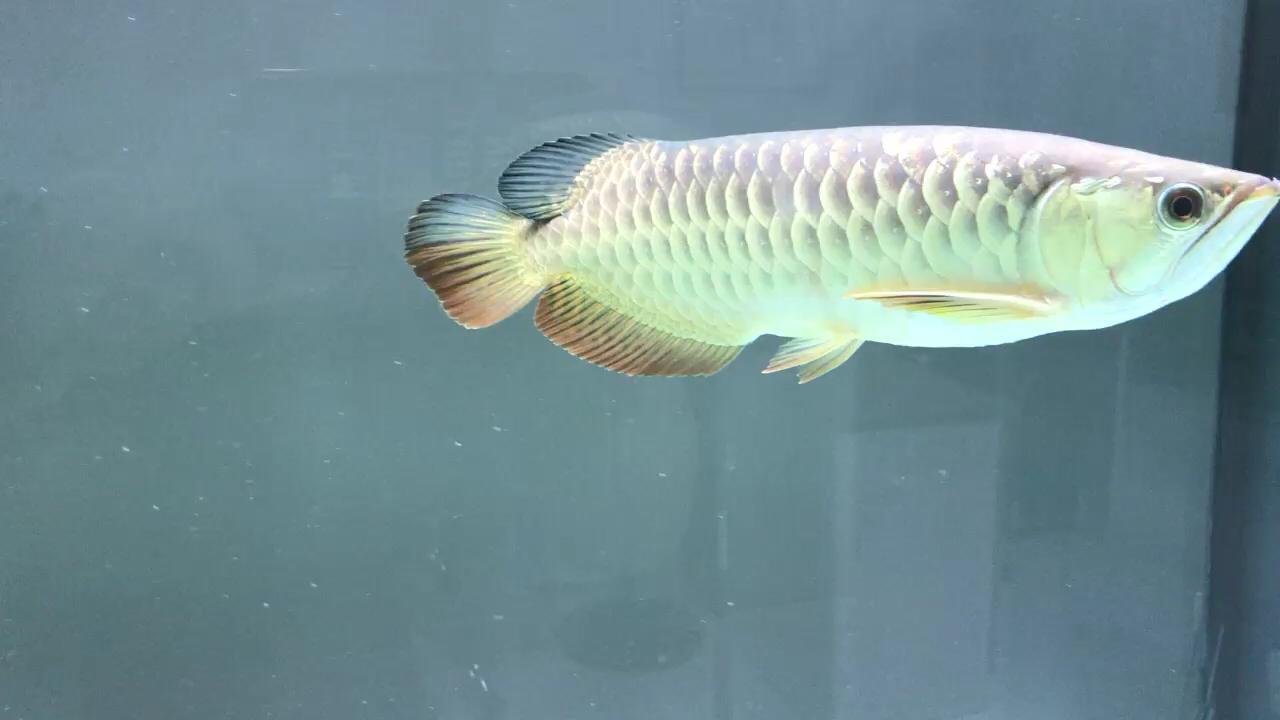 大神帮忙看下这条龙鱼的品相 北京龙鱼论坛 北京龙鱼第1张