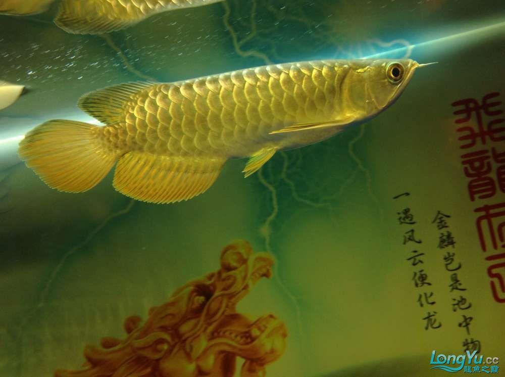 今日请的小毒物小金 北京观赏鱼 北京龙鱼第1张